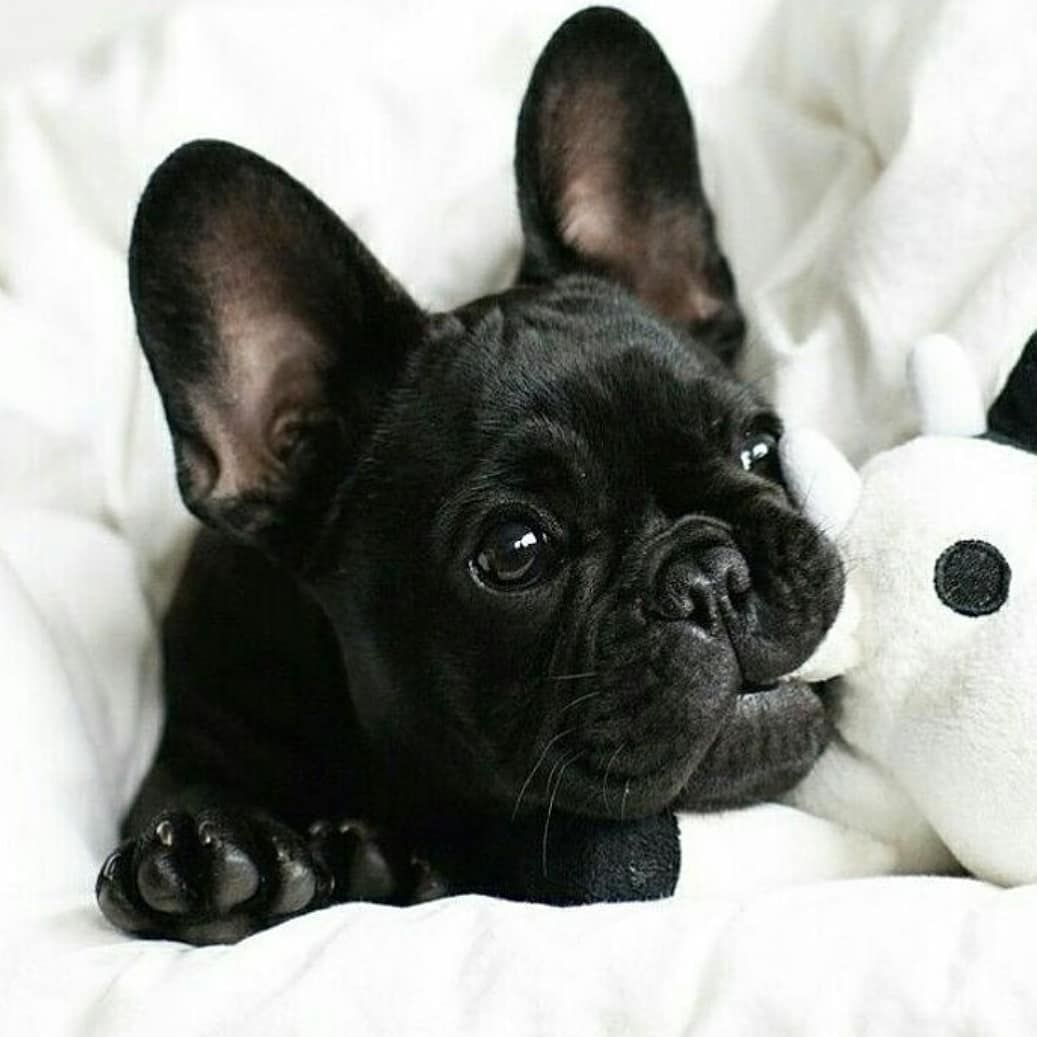 Caesar S Frenchies On Instagram Too Cute For Words
