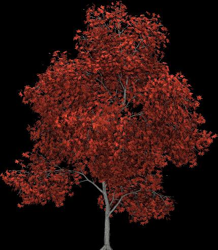 Imgur Post Imgur Tree Photoshop Red Maple Tree Trees To Plant