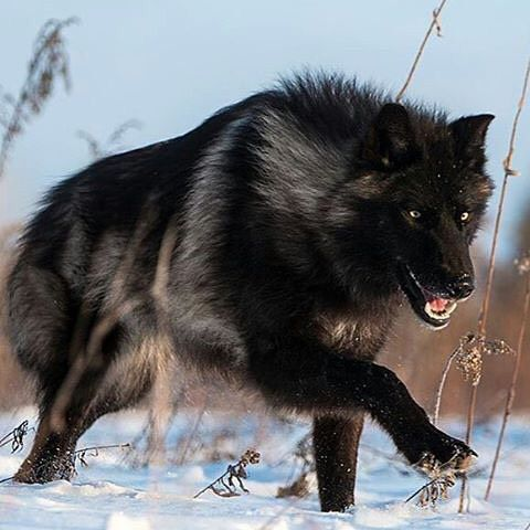 black timber wolf photography by conradtanphotography