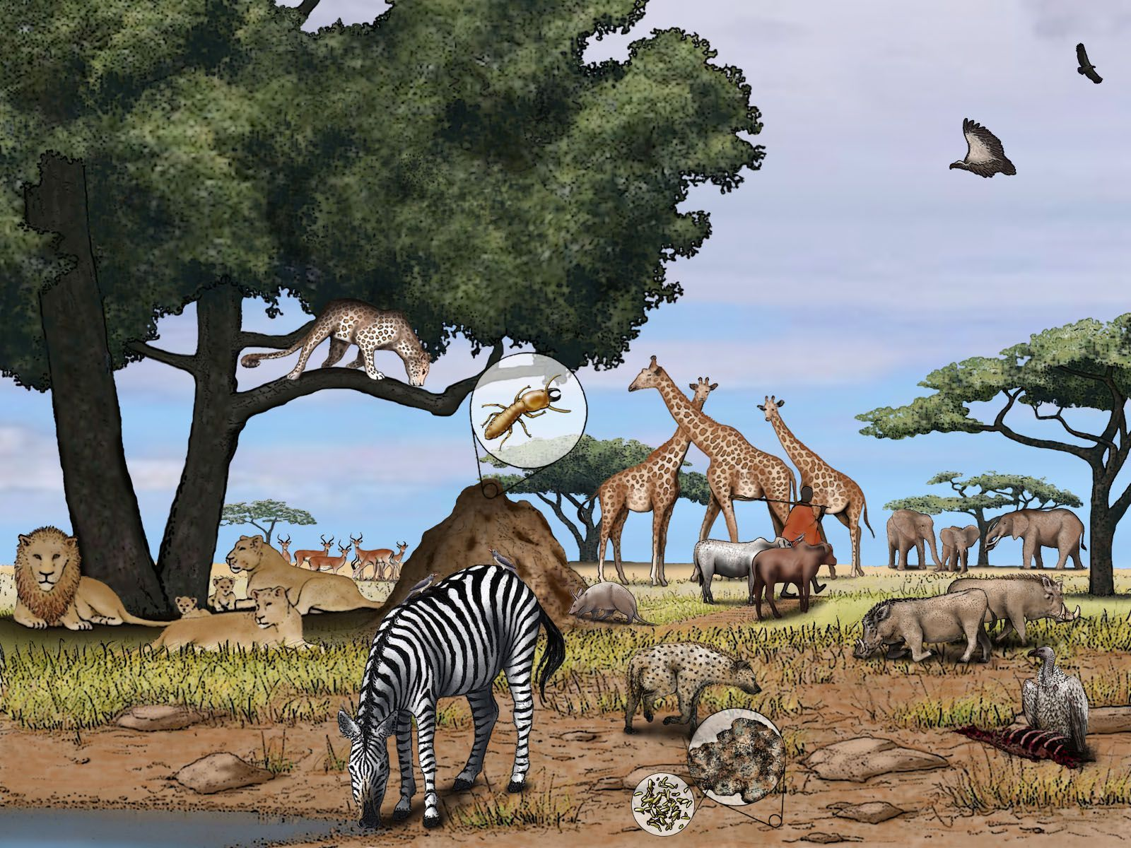 An Illustration Gallery And Information On The African