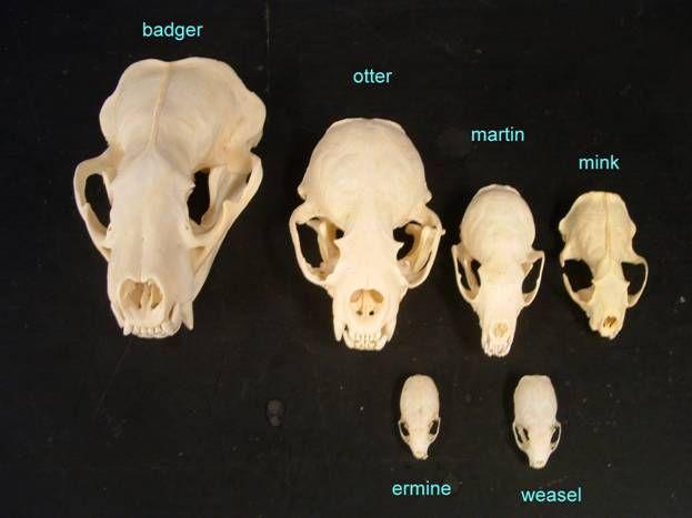 Badger skull art | Etsy