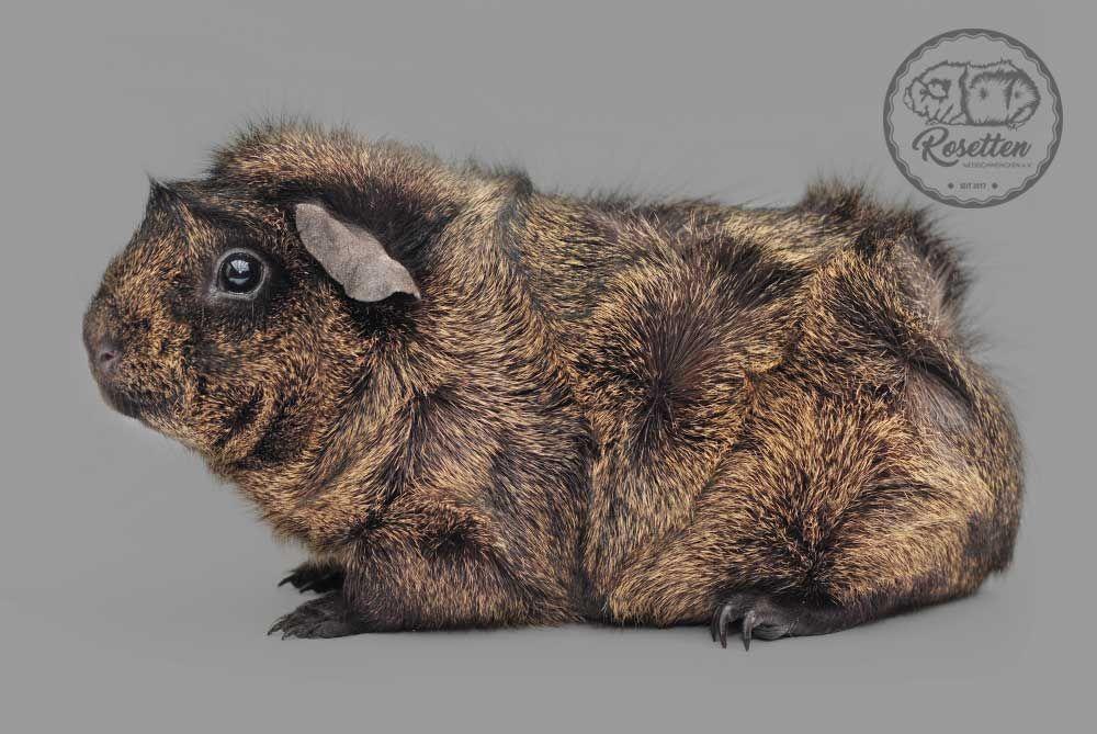 Meerschweinchen Rosette Schwarz Creme Solidagouti Bild Iris