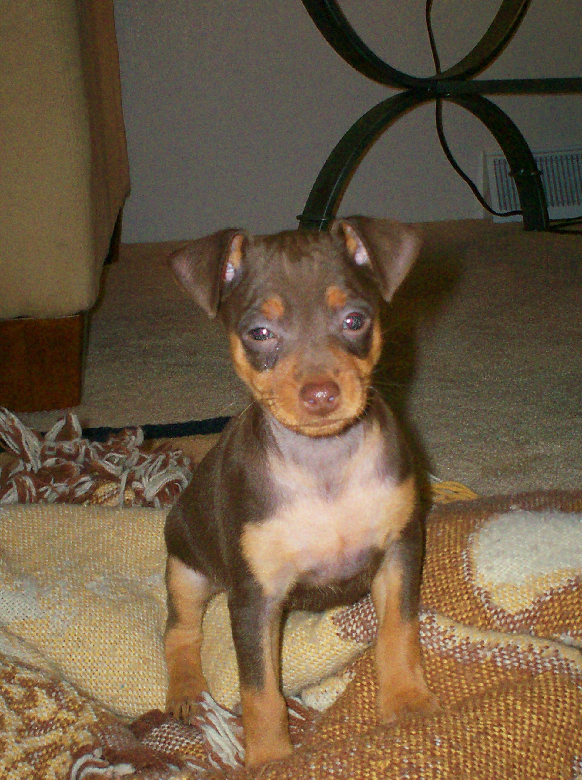 Adorable Baby Miniature Pinscher Puppy Miniature Pinscher Pinscher