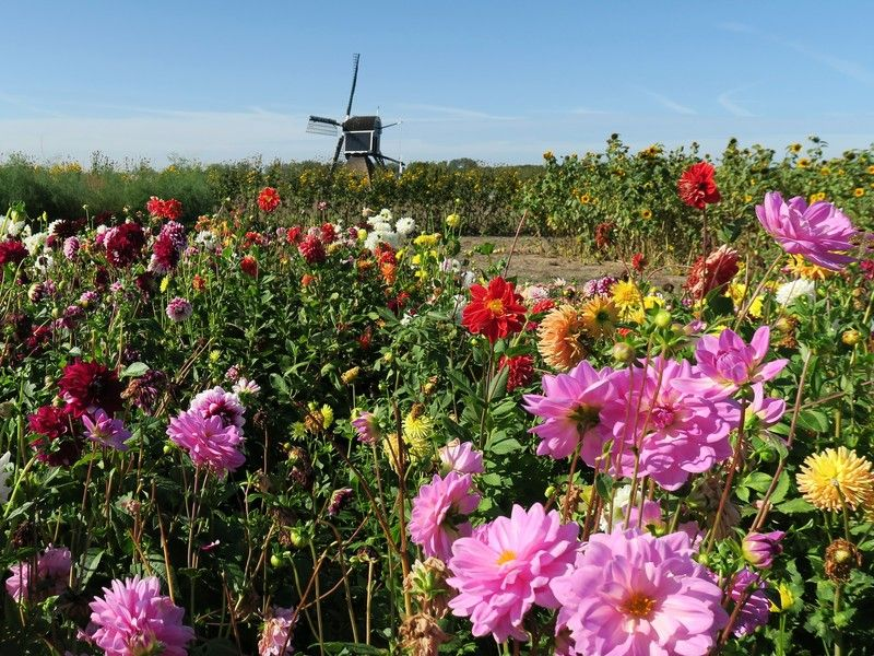 Floral splendor at the windmill