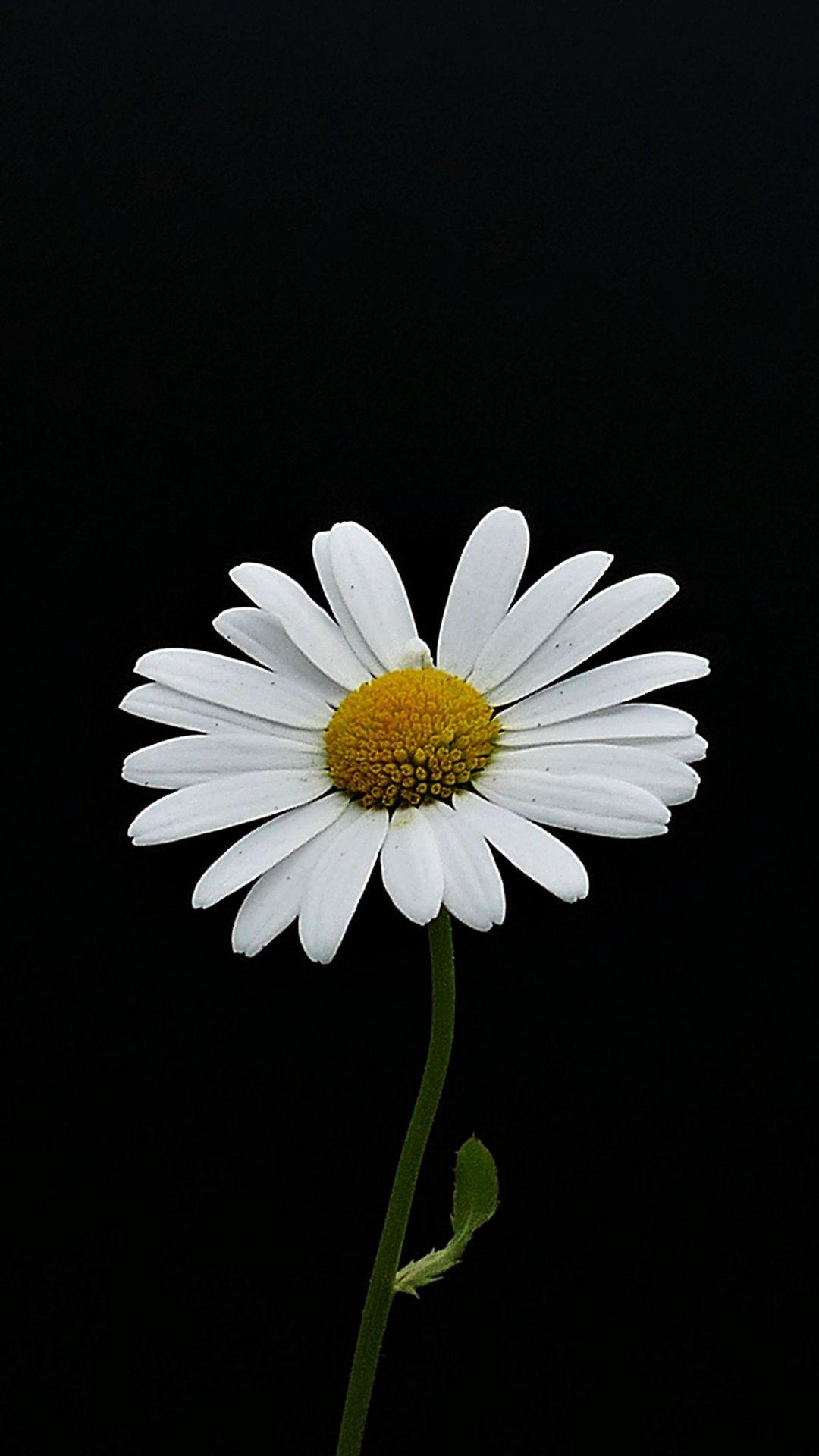 Portrait White Flower Daisy Wallpaper Black And White