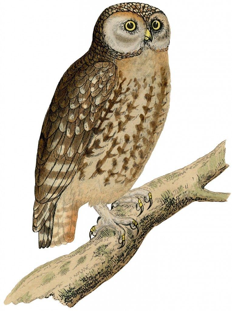 Naturalist John Gould Bird Mottled Wood Owl Counted Cross Stitch Chart Pattern