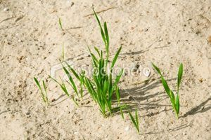 How To Grow Grass In Sandy Soil Growing Grass Planting Grass