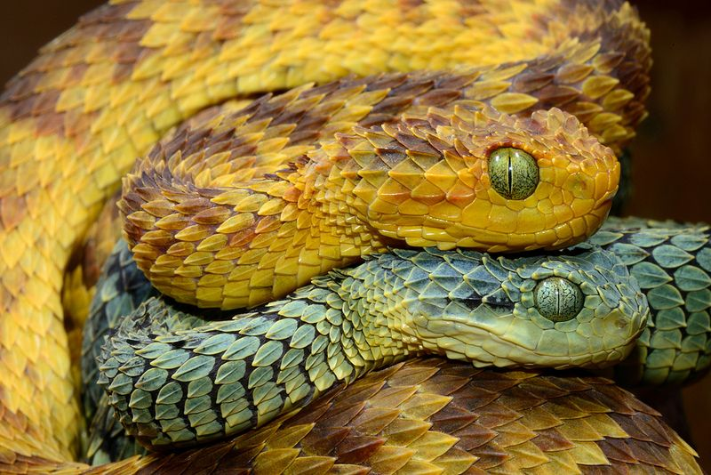 The Hairy Bush Viper – Yes that is really its name.