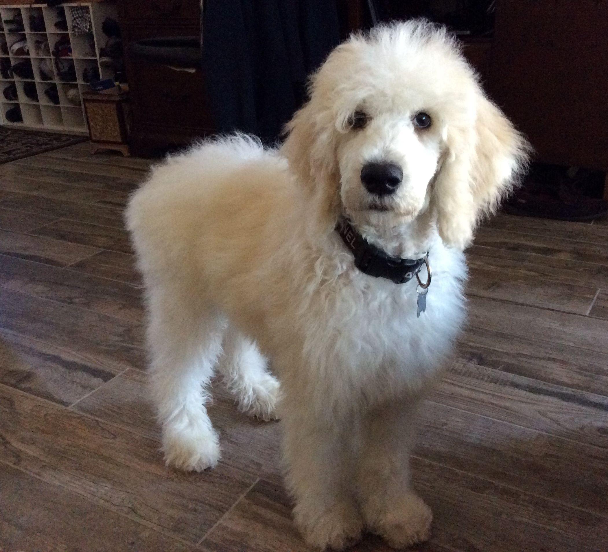 Meet Harley the 15 weeks old Standard Poodle. Dogs