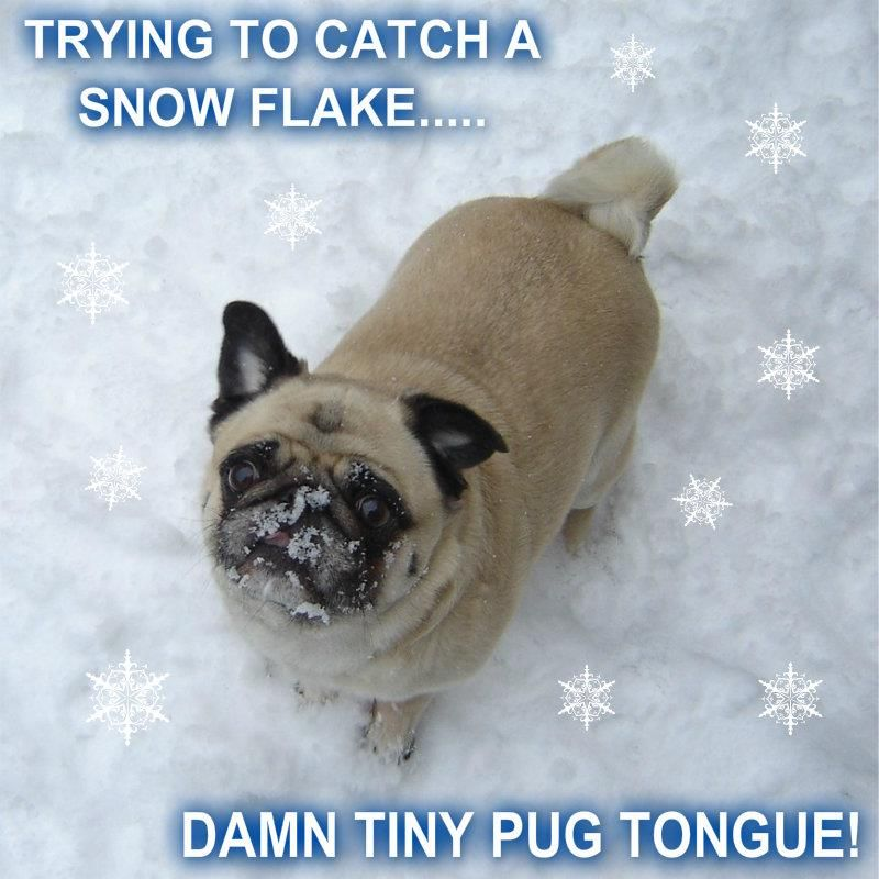 Pug Catching Snow Flakes Pugs Funny Funny Animals Pugs