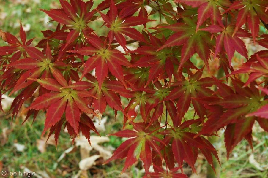 Acer Palmatum Kurabu Yama Japanese Maples Acer Palmatum