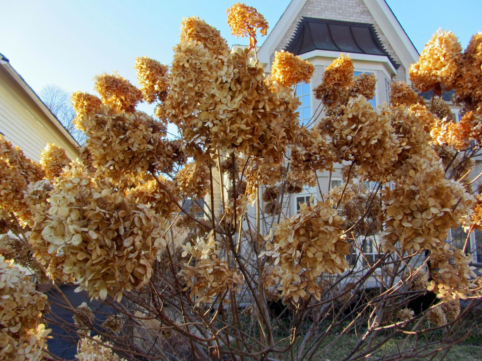 Image Result For Photos Of Limelight Hydrangea In Winter