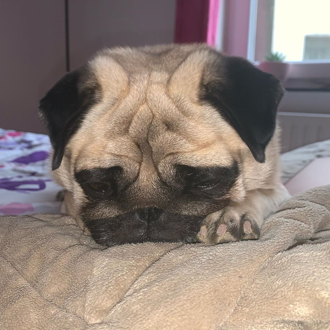 Pugclub Pose Pug Dog Sleep Pugs Pugfanworld Pugdogs