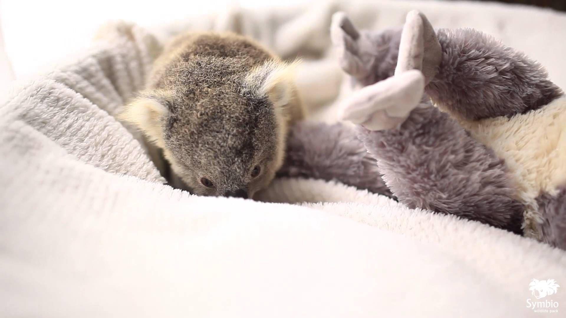 Baby koala eating eucalyptus | Cute Animal GIF | Pinterest