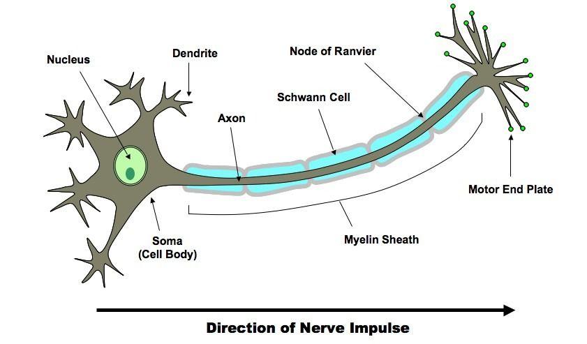 neuron-3_med.jpeg (841×493) | Neuroanatomy | Pinterest