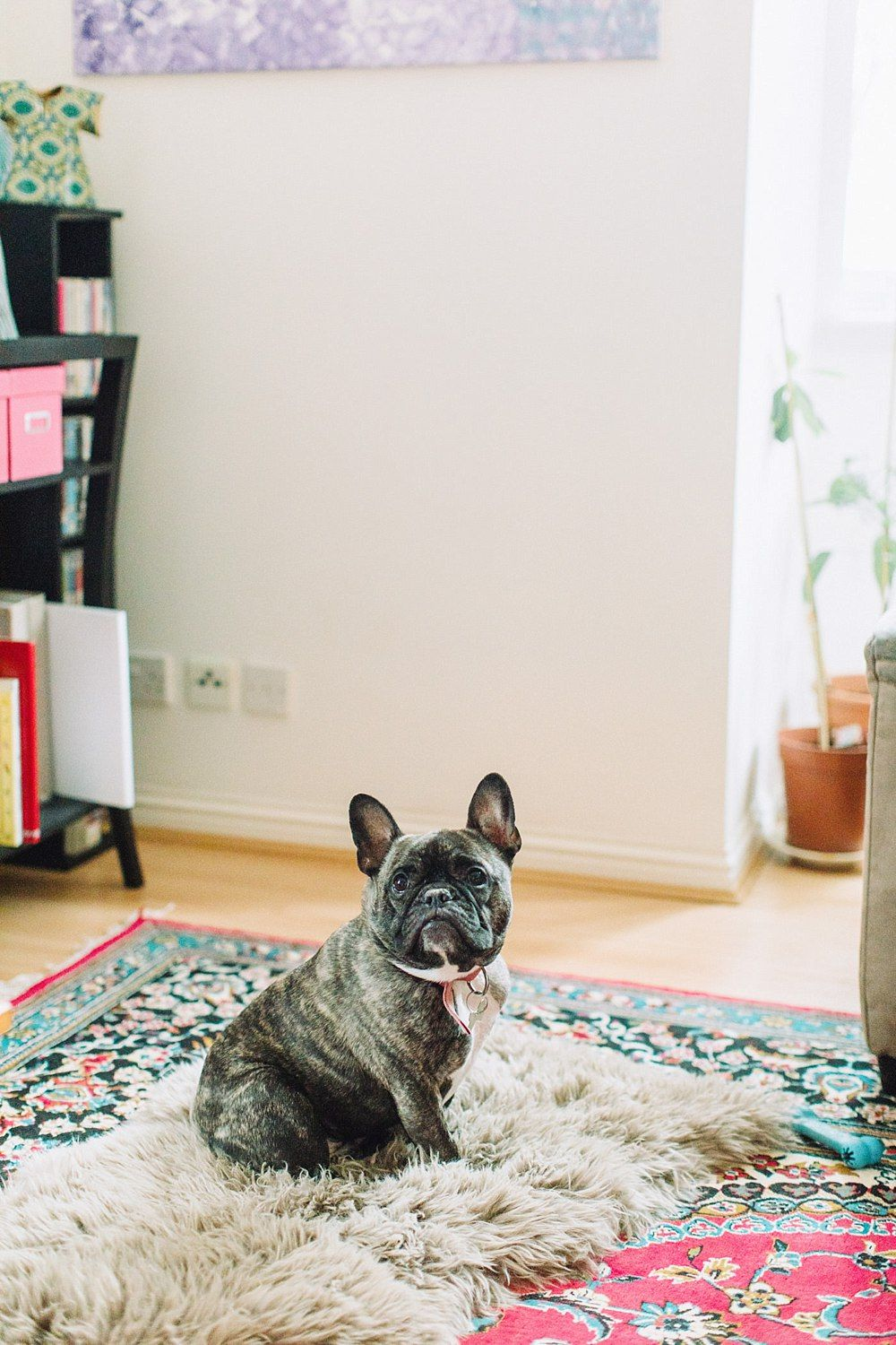 The Gibsons,french bulldogs,frenchies,pet photographer