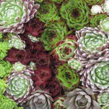 Seed - Hens And Chicks Ground Cover Seeds Semperviven most hardy to zone 4, monocarpic, after flowering the rosette dies, but usually produces offsets before dying. Flowers are showy star shaped with more than 6 petals, plants require good drainage and do best in bright light with some light shade in the hottest part of the day, pests in