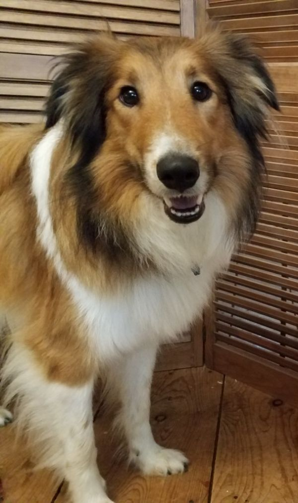 Grant S Fenella Old Time Scotch Collie Pedigree Database Old