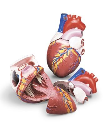 Budget Jumbo Heart Model | Anatomy | Heart anatomy, Anatomy models