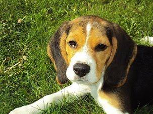 El Perro Puede Ser Definido Como Un Animal Vertebrado Perteneciente A La Clase De Los Mamíferos Carnívoros Específicamente De Beagle Puppy Beagle Dog Puppies
