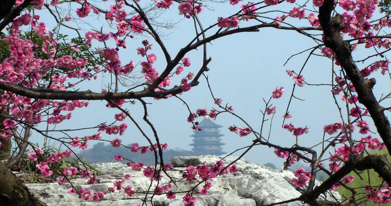 Linda Primavera A Todos Blossom Trees Japanese Cherry Tree Japanese Cherry Blossom