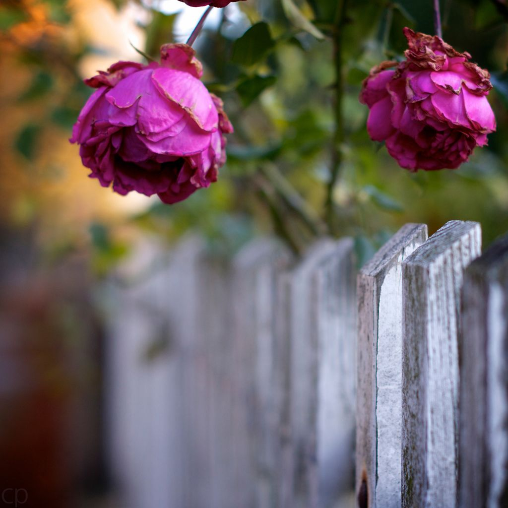 White fence, pink roses | Flickr - Photo Sharing!