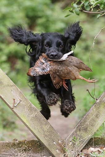 Pin By Ohio Valley Outdoors Magazine On Perros English Cocker Spaniel Puppies Black Cocker Spaniel English Cocker Spaniel