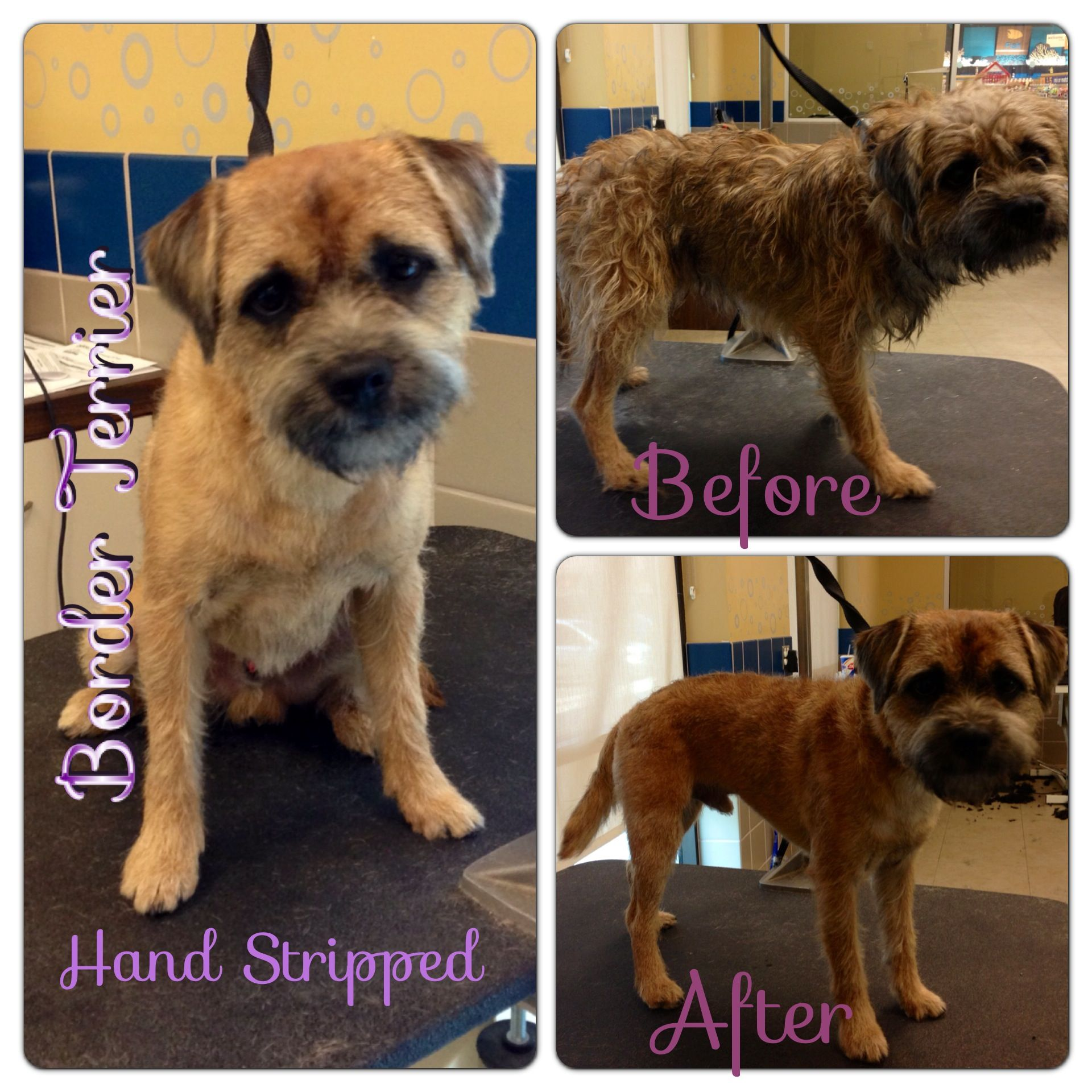 Hand Stripped To Breed Standard Border Terrier Dog Grooming