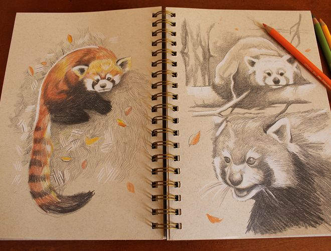 firefoxMore Red Panda sketch studies LOVE this I love