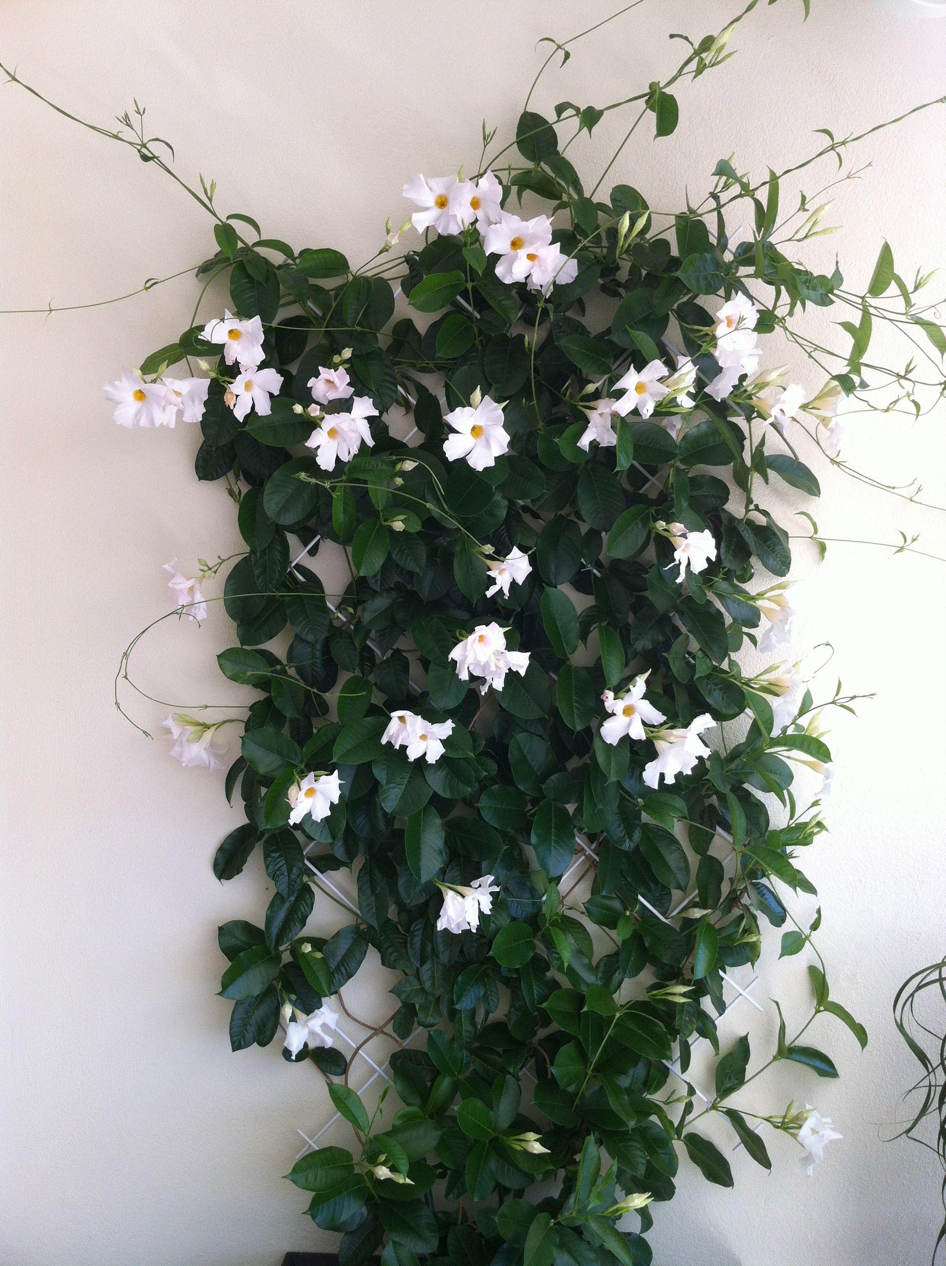 dipladenia bianca sul muro della mia terrazza  Flowers in