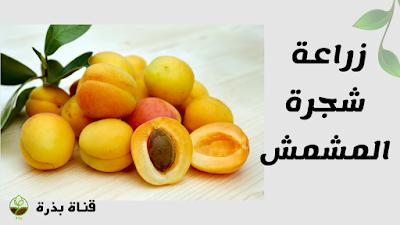 طريقة زراعة المشمش Fruit Food Apricot