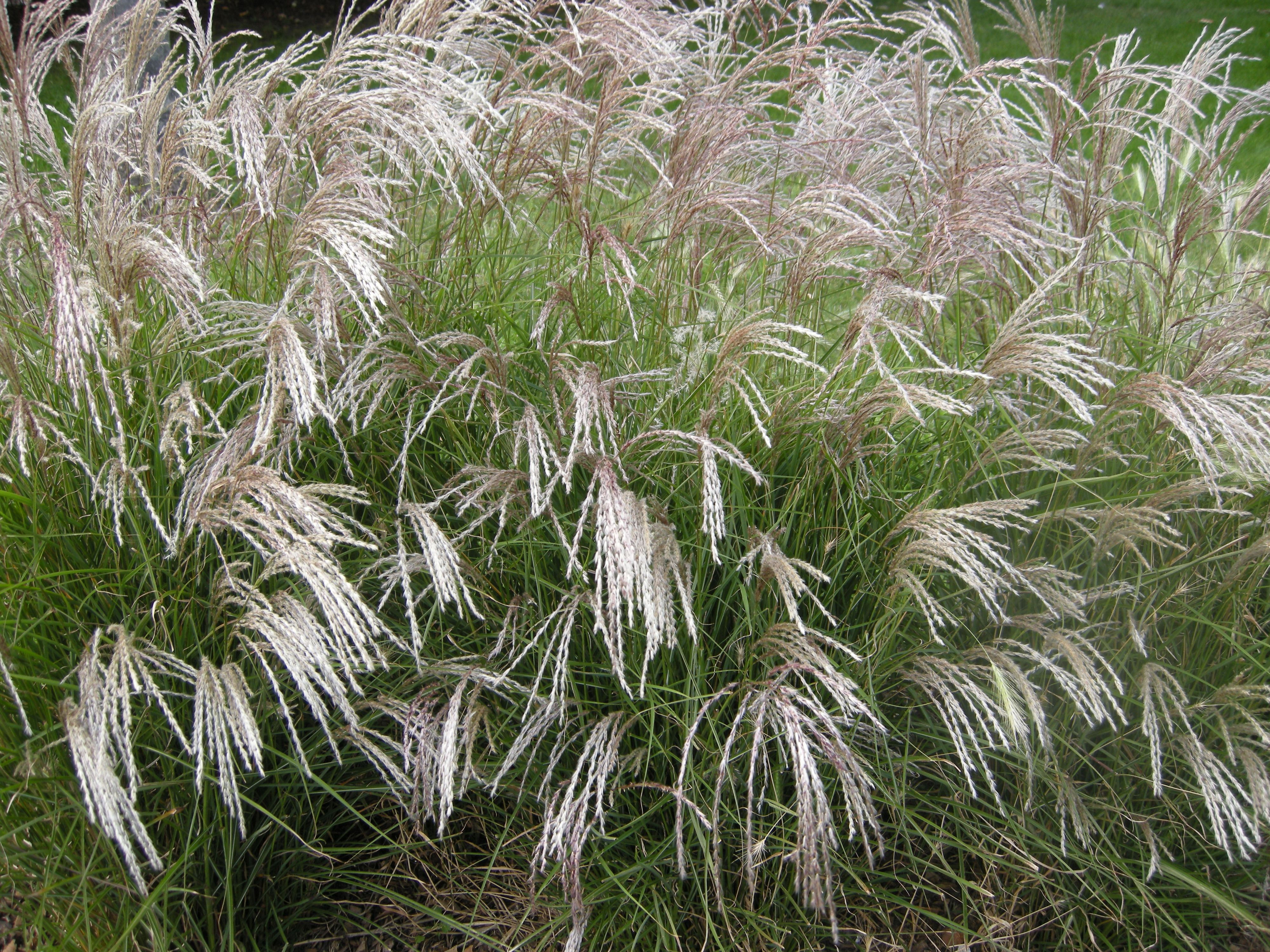 Miniature ornamental grasses - Posts About Miscanthus Sinensis Yakushima Dwarf On Landscape Architect S Pages