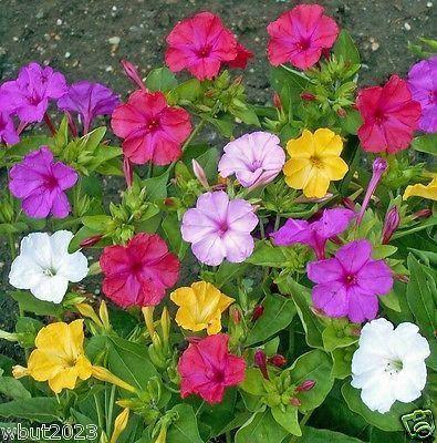 100 Four O'Clocks Flowers Seeds (Mirabilis Jalapa Mix) . Perennial