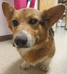 (poor baby) Fizz* is an adoptable Welsh Corgi Dog in Rustburg, VA. Fizz� is a Welsh Pembroke Corgi, about 2-4 years old. He�tested positive for lyme disease and is hurting all over because of it. We will start hi...