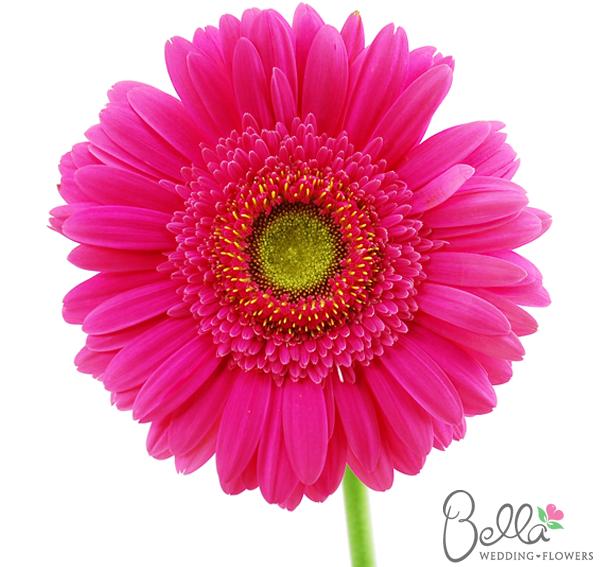 Hot Pink With Green Center Pink Gerbera Wedding Bouquets Pink Gerbera Daisy