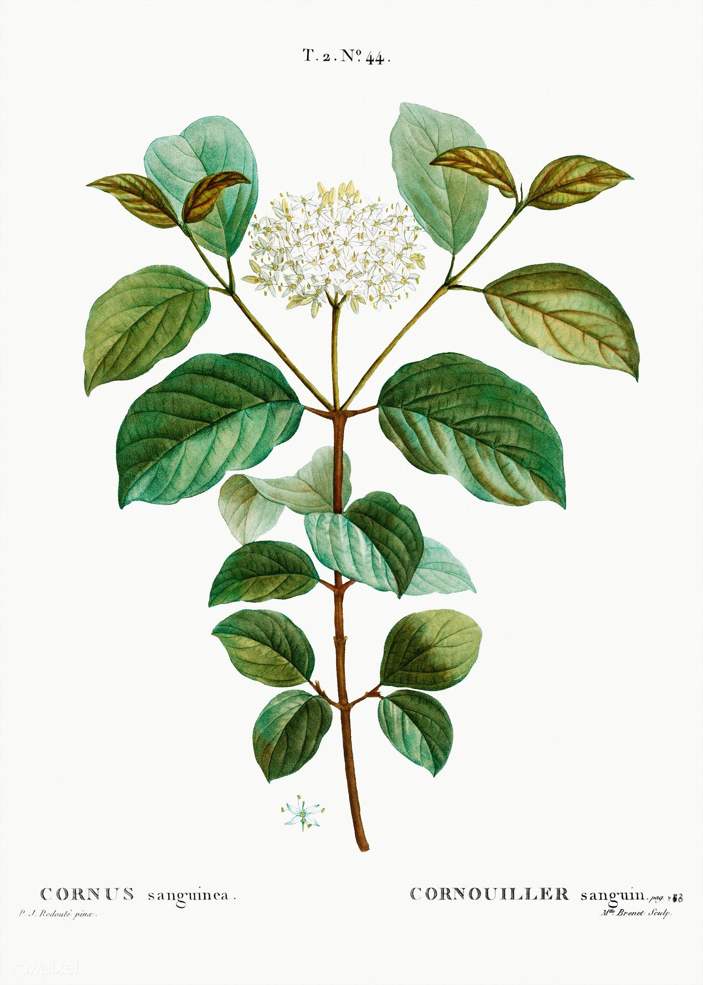 Common Dogwood Cornus Sanguinea From Traite Des Arbres Et Arbustes Que L On Cultive En France En Pleine Terre 1801 1819 By P Dogwood Flowers Dogwood Plants