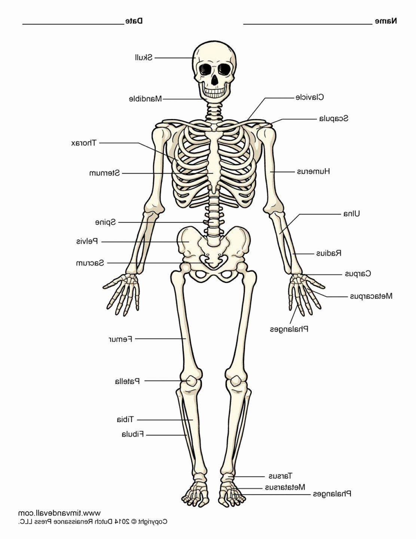 Anatomy Of A Bone Coloring Awesome Skeleton Coloring Pages Anatomy Human Bones Anatomy Coloring Book Skeleton Diagram