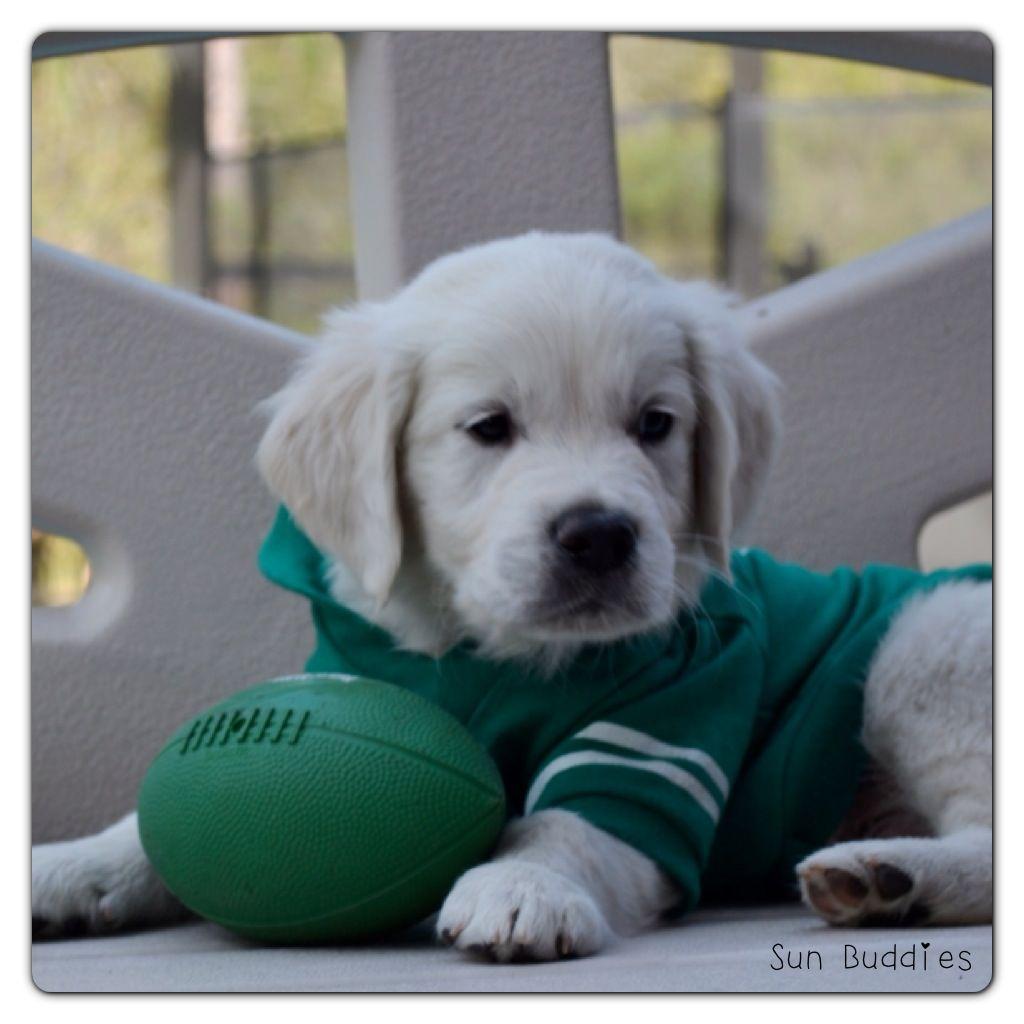 Golden Retriever All Star! puppy puppies retriever dog