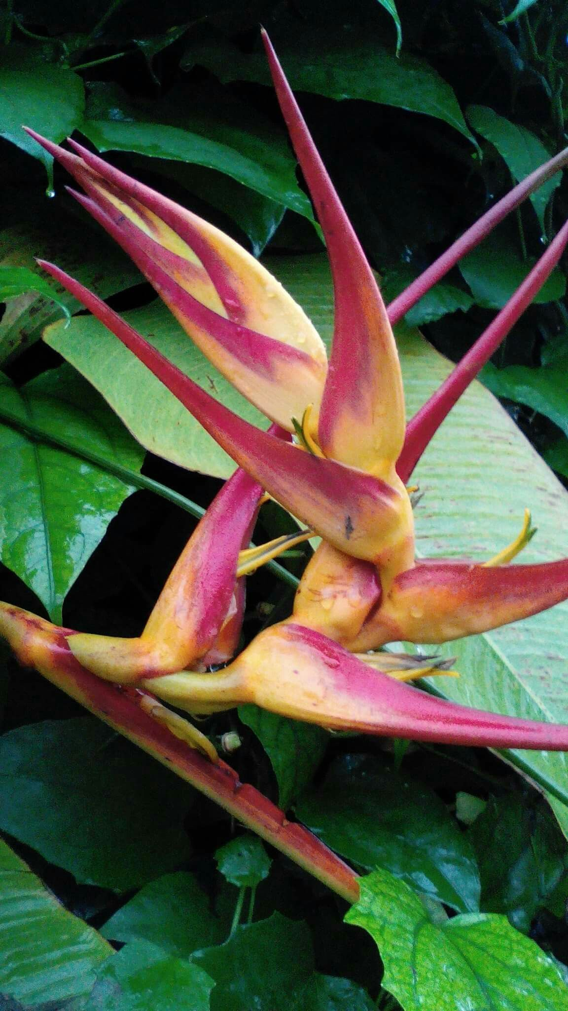 Big one.H.latispatha Plants, Tropical plants, List of