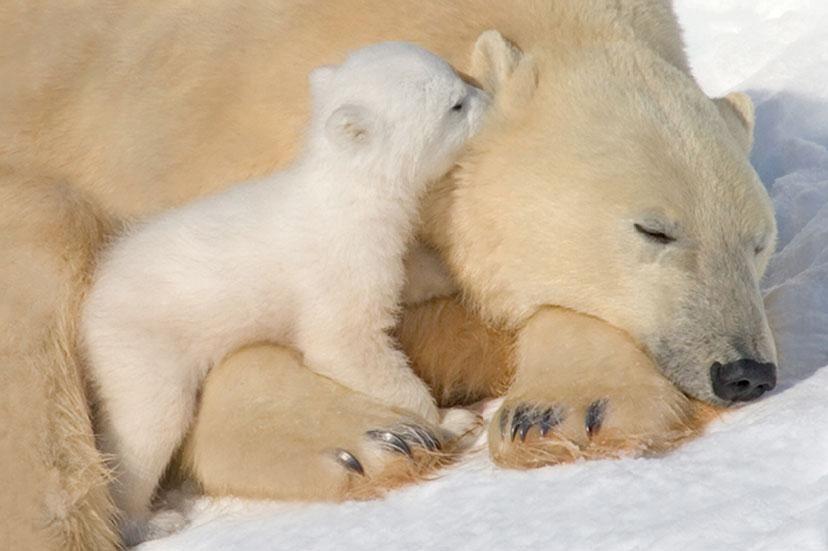 llbwwb:  Psstttt Mama.Polar Bear Mother and Cub, photo by Howard Ruby.