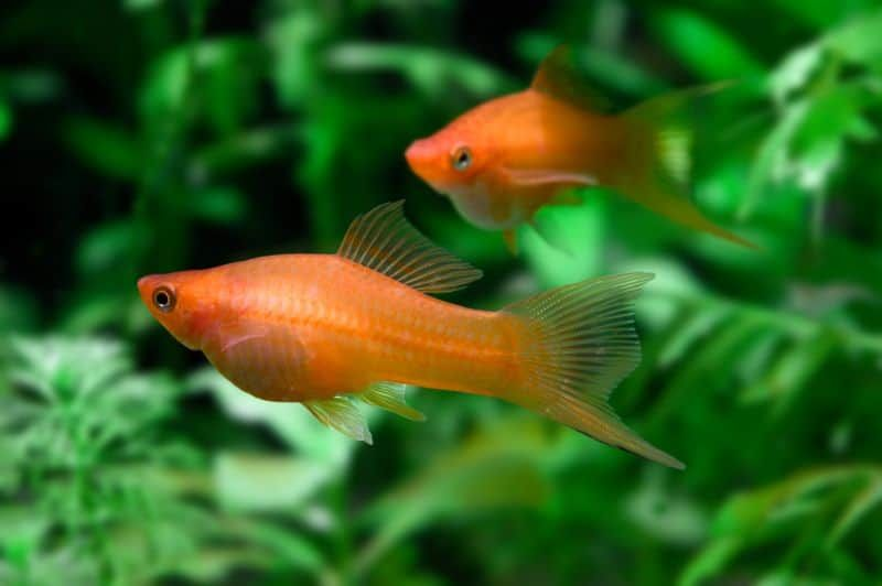 How Long Are Swordtail Fish Pregnant For 2020 In 2020 Swordtail Fish Fish Fish Breeding