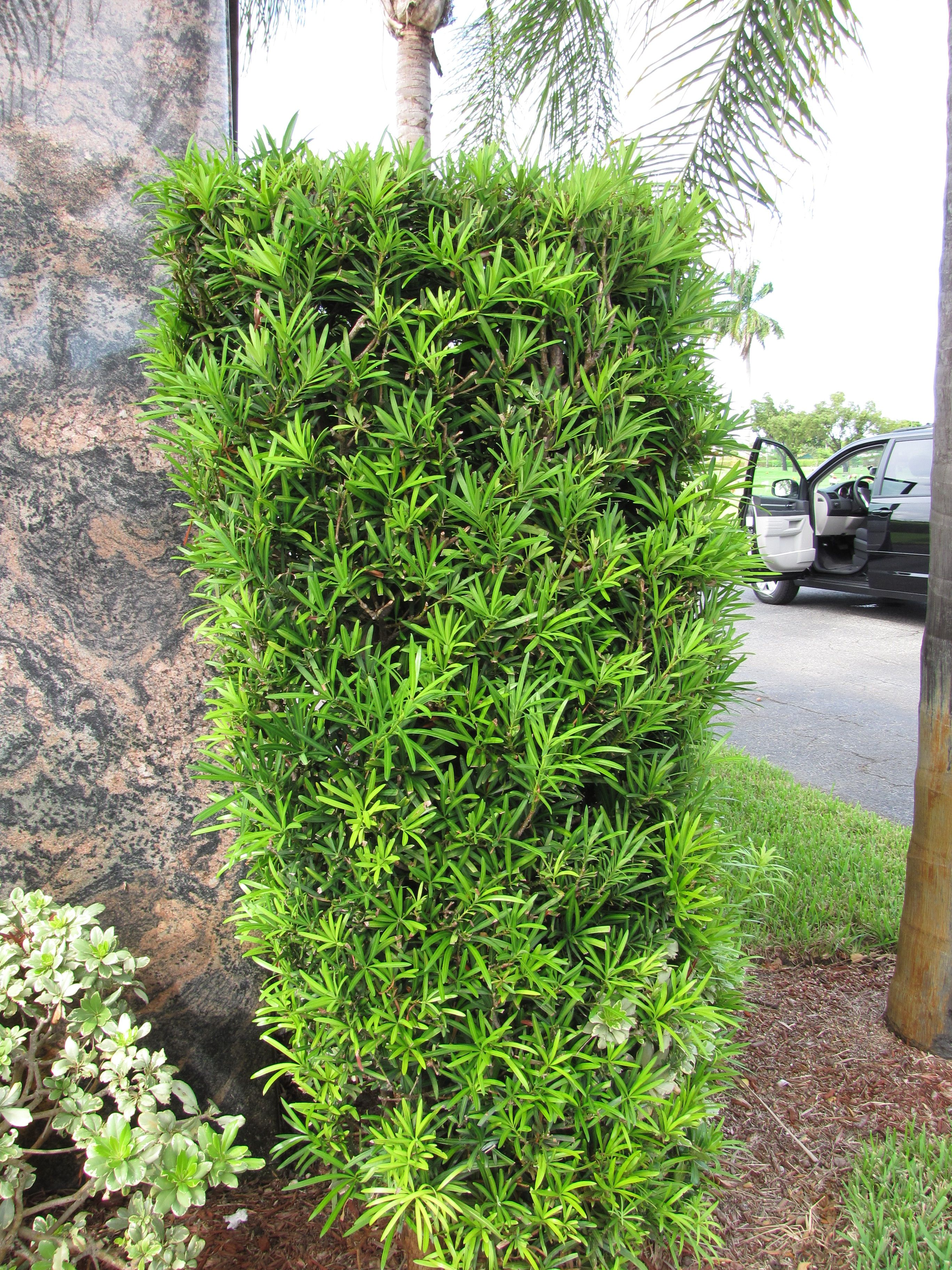 Good For Privacy On The Deck Japanese Yew Plants Outdoor Landscaping Backyard Landscaping