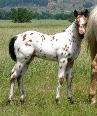 Appaloosa foal.: