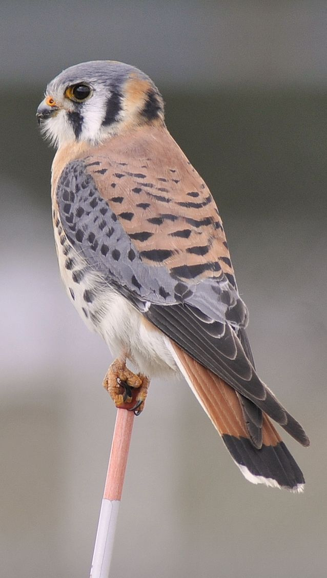 Scarlet Cups Mud And Early Morning Walks Pet Birds Birds Of Prey Pretty Birds