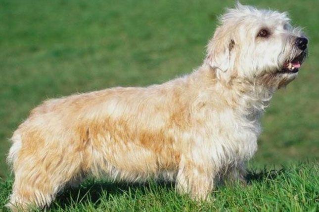 Glen Of Imaal Terrier Caes Racas Caes Raca