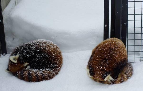 円山動物園 ギンとエイタ  Red pandas レッサーパンダ 小熊猫