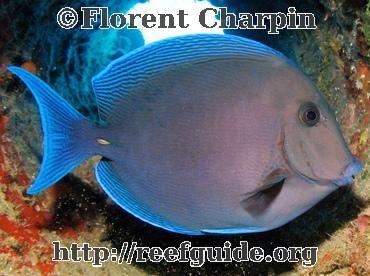 Blue Tang Acanthurus Coeruleus Nassau Bahamas Fish Pet Fish Blue Tang