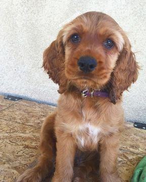 Cocker Spaniel Puppy For Sale In Colton Ca Adn 29092 On Puppyfinder Com Gender Ma Spaniel Puppies For Sale Cocker Spaniel Puppies Puppies For Sale
