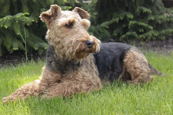Why Have Dogs Become So Popular In The Uk Catchfred Welsh Terrier Terrier Dog Breeds Dog Breeds