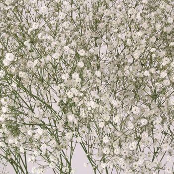Baby S Breath Gypsophila 100 Stems Gypsophila Babys Breath Flower Centerpieces